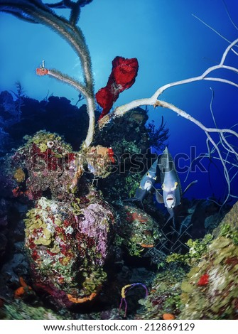 Caribbean Sea, Belize, couple of Angel fish (Pomacanthus sp.) - FILM SCAN - stock photo