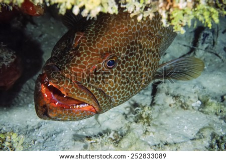 Caribbean Sea, Cayman Islands, U.W. photo, tropical grouper - FILM SCAN - stock photo
