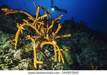 Caribbean Sea, Cuba, U.W. photo, diver and Finger Sponges - FILM SCAN - stock photo