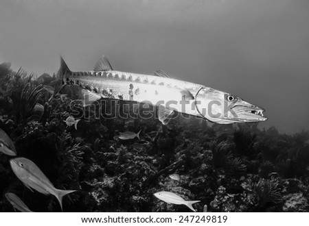 Caribbean Sea, Cuba, U.W. photo, great Barracuda (Sphyraena barracuda) - FILM SCAN - stock photo