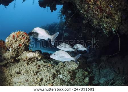 Caribbean Sea, Cuba, U.W. photo, tropical grunts - FILM SCAN - stock photo