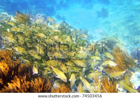 Caribbean sea reef yellow Grunt fish school Mayan Riviera mexico Haemulon flavolineatum [Photo Illustration] - stock photo