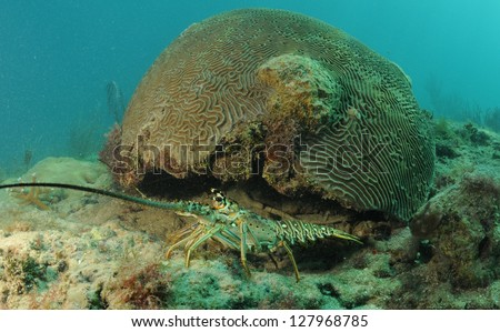 Caribbean spiny lobster coming out from under brain coral in natural habitat - stock photo