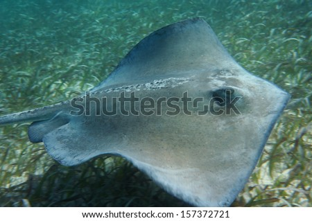 Caribbean Sting Ray