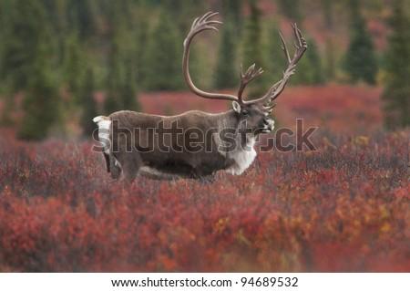 Caribou Bull (Rangifer tarandus) in fall colored tundra of dwarf birch and willow, Denali National Park, Alaska - stock photo