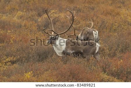 Caribou (Rangifer tarandus) bulls Denali National Park, Alaska. Tundra in fall color. - stock photo