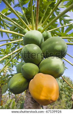 Carica papaya with both ripe and unripe papaya or pawpaw fruit - stock photo