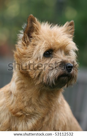 Carin Terrier Headstudy - stock photo