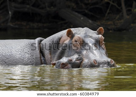 caring for their young hippo - stock photo