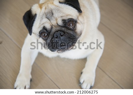 carlino eyes dog - stock photo