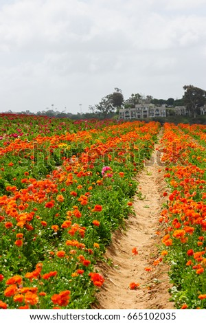 Carlsbad California Flower Fields.