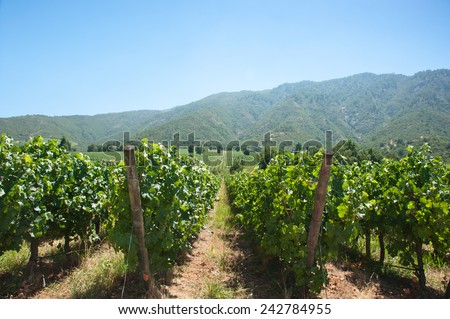 carmenere wineyard in santa cruz, rancagua - chile - stock photo