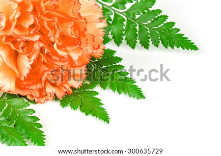 Carnation flower - stock photo