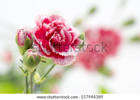 carnations - stock photo