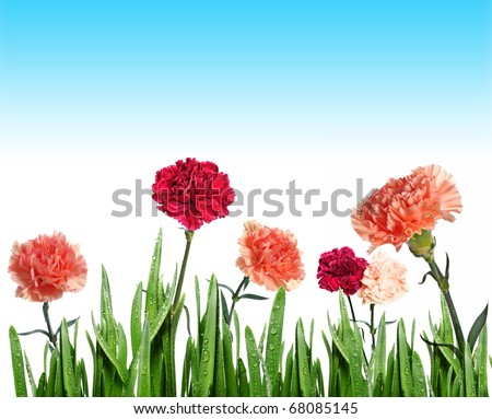 carnations flowers in grass - stock photo
