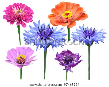 Carnations flowers majors it is isolated on a white background - stock photo