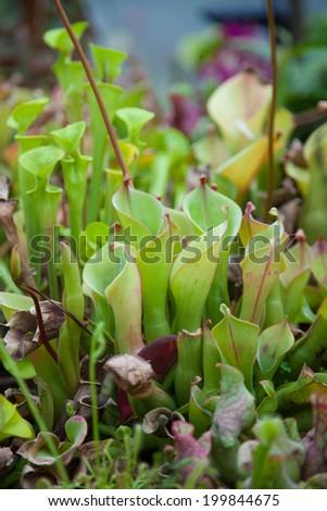 Carnivorous droseaceae plant - stock photo