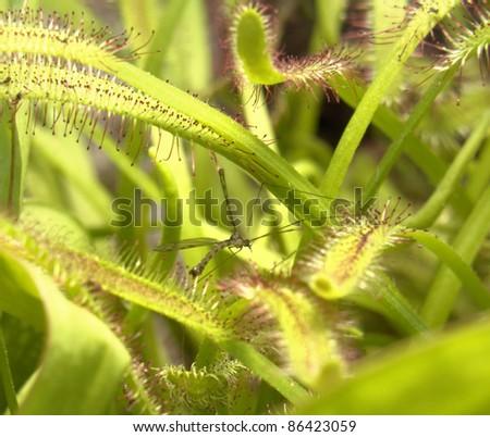 carnivorous flypaper trap plant detail - stock photo