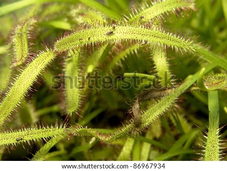 carnivorous flypaper trap plant detail