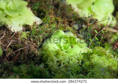 Carnivorous plant butterworts Pinguicula - stock photo