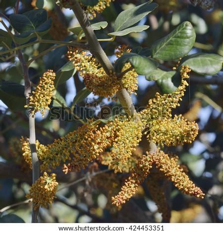 Carob or Locust Tree - Ceratonia siliquaFlowers - stock photo
