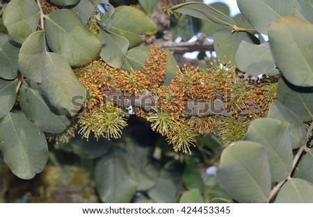 Carob or Locust Tree - Ceratonia siliquaFlowers & Leaves - stock photo