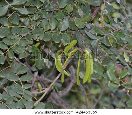 Carob or Locust Tree - Ceratonia siliquaGreen Seed Pods on Tree - stock photo