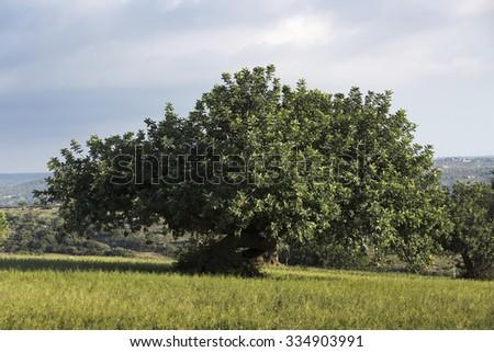 Carob Tree in sicilian landscape. - stock photo