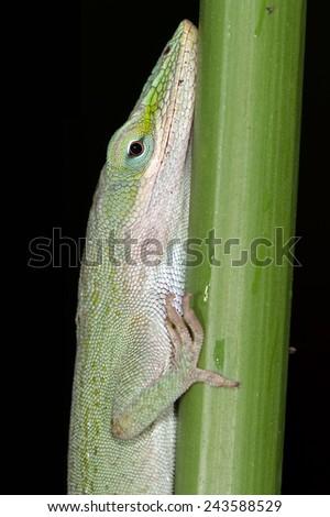 Carolina Anole Lizard on Thick Green Stalk/Green Lizard/Green Anole Lizard (Anolis Carolinensis)  - stock photo