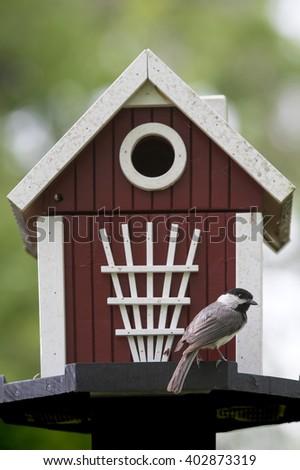 Carolina Chickadee on Red and White Nesting Box - stock photo