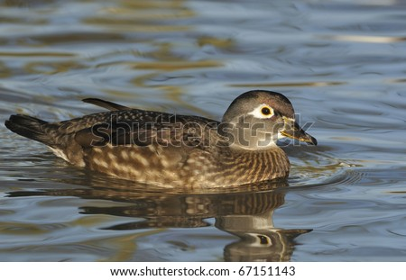 Carolina or Wood Duck - Aix sponsa Female - stock photo