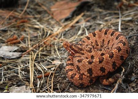 Carolina Pigmy Rattlesnake - stock photo