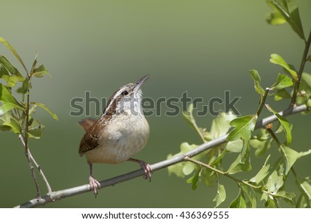 Carolina Wren on a Leafy Branch