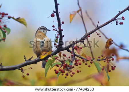 Carolina Wren on branch with red berries - stock photo