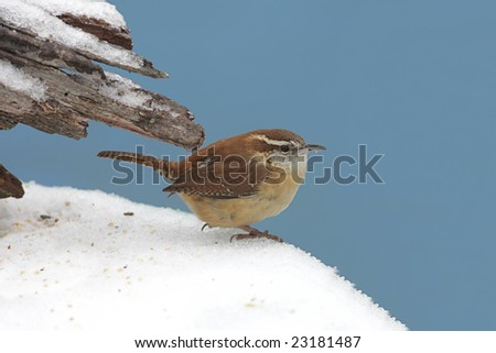 Carolina Wren (Thryothorus ludovicianus) at a feeder covered with snow - stock photo