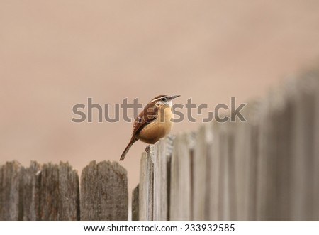 Carolina Wren (Thryothorus ludovicianus) puffed up against cold weather is perched on aged wooden fence with soft pastel background -- harmonious colors or Analogous Harmony. - stock photo