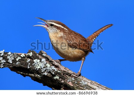 Carolina Wren (Thryothorus ludovicianus) singing on a branch with a blue sky background - stock photo