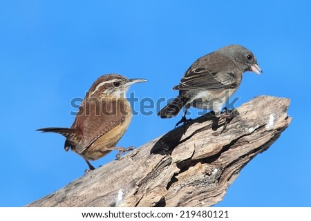 Carolina Wren (Thryothorus ludovicianus) with a Junco on a tree stump with a blue sky background - stock photo