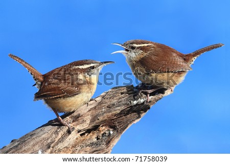 Carolina Wrens (Thryothorus ludovicianus) on a tree stump with a blue sky background - stock photo