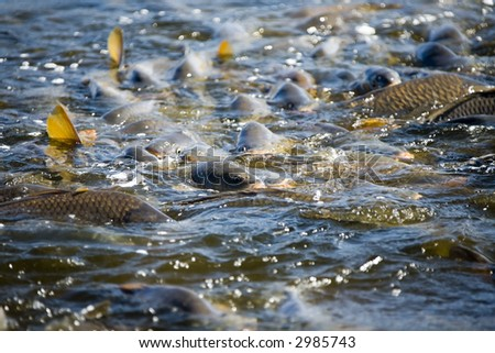 Carp, fish - stock photo