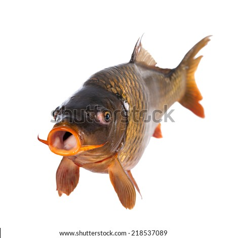 carp fish isolated - stock photo