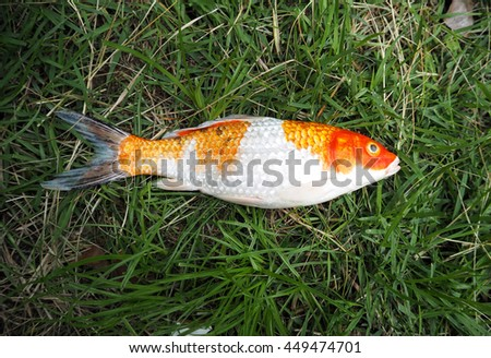 Grass carp stock images royalty free images vectors for Ornamental carp fish
