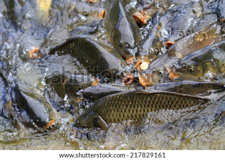 carp fishes from czech lake