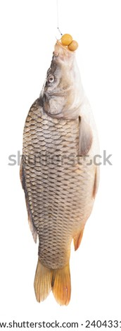 carp hanged on a bite line. isolated on white background.