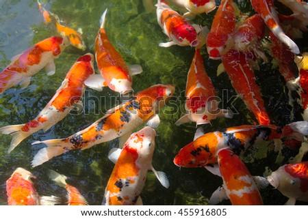 Koi fish pond swimming gracefully stock photo 351437855 for Carpe koi orange