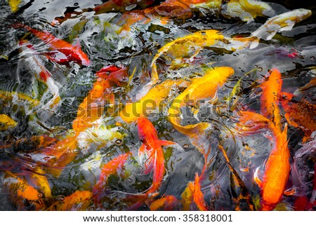 CARP or fancy carp, also known as fancy carp, black carp. Or carp IX. A freshwater fish of the carp. Japanese Koi called