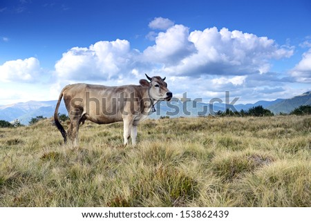 Carpathian cow is grazing in the mountains
