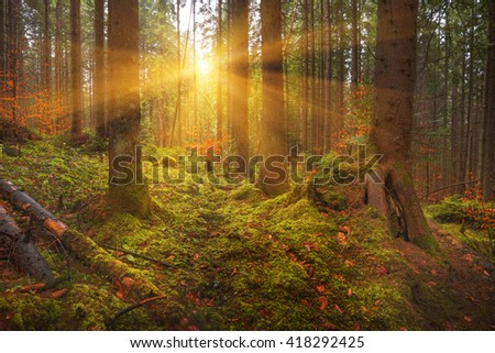 Carpathian dense forest at sunrise with old spruces trees and mossy bottom