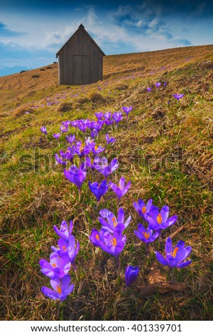 Carpathian mountain valley covered by a carpet of beautiful flowers crocus, or saffron. Spring time.