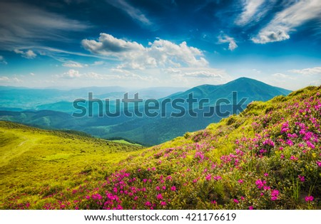 Carpathians mountain hills, covered with fresh blossom rododendron flowers. Warm early morning light. - stock photo
